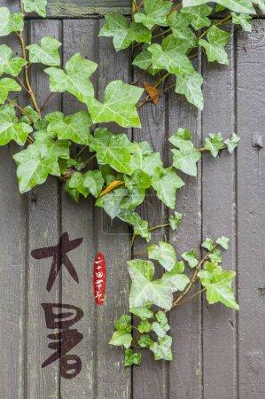 Photo pour Feuilles de lierre vert sur mur en bois - image libre de droit