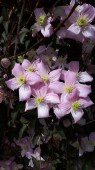 A beautiful display of Clematis Montana 'Nelly Moser' in a garden  in Lancashire in the North of England