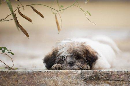 Photo pour Chiot Shih-tzu mignon couché sur le sol - image libre de droit
