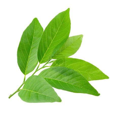 Photo for Green leaves isolated on a white background. - Royalty Free Image