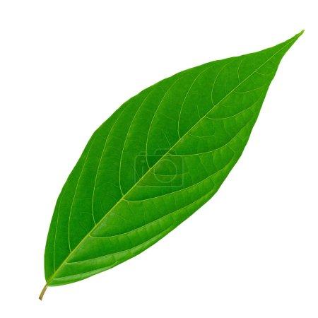 Photo pour Feuilles vertes isolées sur fond blanc. - image libre de droit