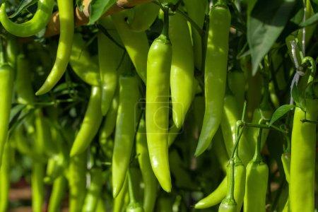 Photo pour Piment vert mûr sur un arbre, piments verts pousse dans le jardin. - image libre de droit