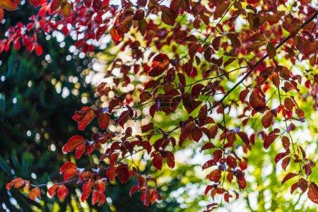 Photo pour Feuilles d'automne colorées sur les branches des arbres - image libre de droit