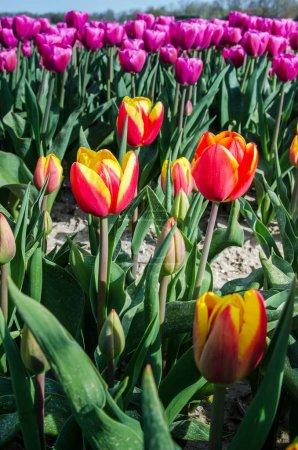 Photo pour Beau paysage printanier avec des tulipes dans les champs de Hollande . - image libre de droit