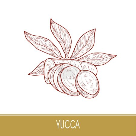 Yucca. Root, leaves. Sketch. On a white background...