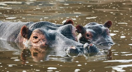 Photo for Mother hippo (Hippopotamus amphibius) and her cub bathe in the murky water of an African river - Royalty Free Image