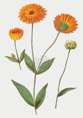 Photo for Vintage carnation flower illustration in vector - Royalty Free Image