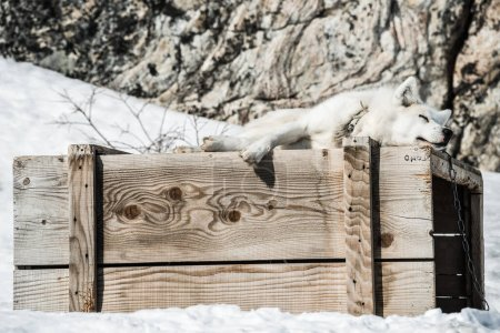Photo for White Husky rests atop a wooden crate in the snow - Royalty Free Image
