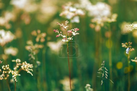Photo pour Fleurs sauvages blanches d'été Persil de vache au lever du soleil . - image libre de droit