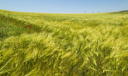 Photo for Green wheat field. Cultivated land. - Royalty Free Image