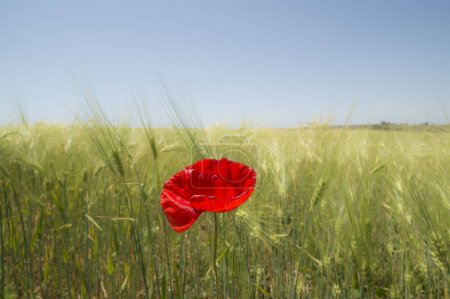 Photo pour Red poppy flower in the wheat field. Unique concept. - image libre de droit