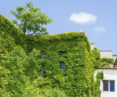 Photo for Green house. House covered with climbing ivy. - Royalty Free Image