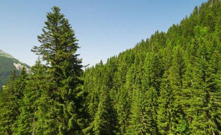 Photo pour Pins dans les montagnes à la journée - image libre de droit