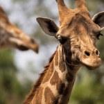 Giraffe looking around with more giraffes...