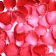 Spray on rose petals Isolated on white background...