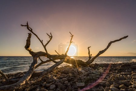 Photo for Dead tree on the beach during sunset - Royalty Free Image