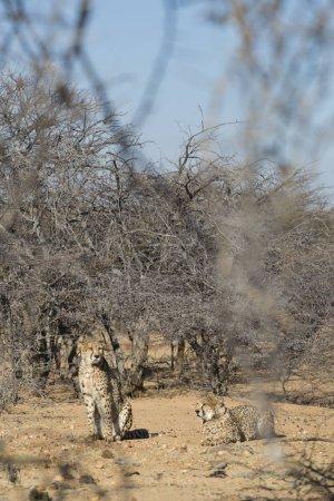 Photo for Leopards in Etosha National Park, Namibia - Royalty Free Image