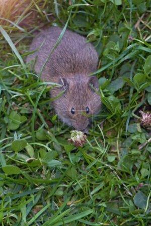 Photo pour Petite souris dans l'herbe cherchant quelque chose à manger. - image libre de droit