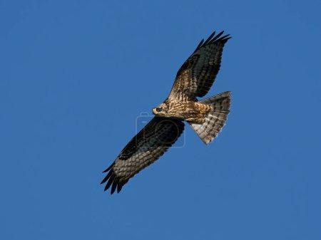 Photo pour European honey buzzard (Pernis apivorus) in flight with blue skies in the background - image libre de droit