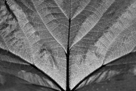 Extremo primer plano macro de una hoja de otoño con finos detalles en blanco y negro imagen .