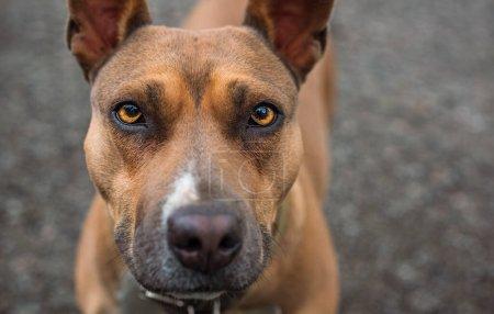 Photo pour Meilleur ami humain. Yeux de chien pitbul. Animaux attente propriétaire - image libre de droit