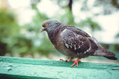 Photo pour Pigeon marche sur un banc au centre d'une ville européenne - image libre de droit