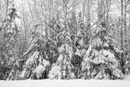 Photo pour Neige tombant sur les arbres à la lisière des bois. Arbres couverts de neige - image libre de droit