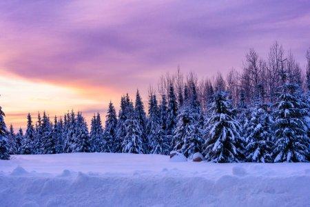 Photo pour Lever de soleil d'hiver. Arbres sempervirents couverts de neige. Paysage horizontal - image libre de droit