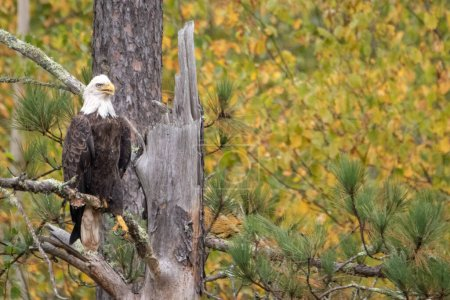 Photo for White Eagle bird sitting in dead tree and looking around - Royalty Free Image