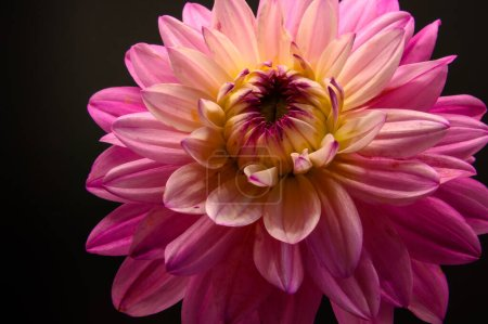 Photo for Closeup pink dahlia flowerhead on black background. Horizontal copy space - Royalty Free Image