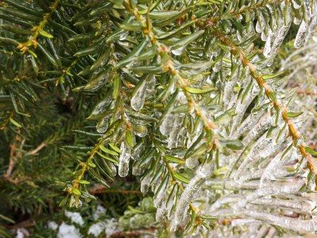 Photo pour Branches persistantes enneigées recouvertes de neige blanche et de glace - image libre de droit