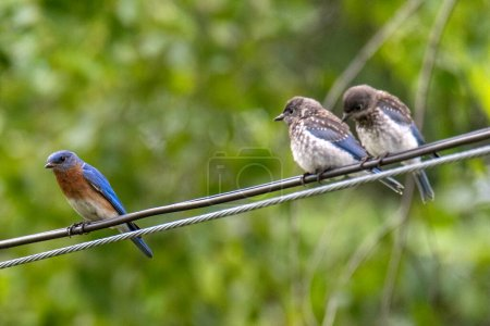 Photo for Small birds sitting on wires - Royalty Free Image