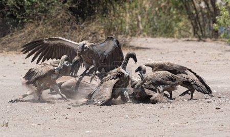 Photo pour Des vautours à dos blanc mangent la carcasse d'un mort du Grand Kudu, parc national de Chobe, Botswana - image libre de droit