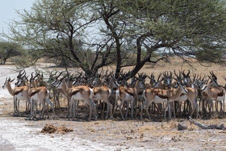 Photo pour Troupeau d'impala à l'ombre d'un arbre dans le parc national Nxai Pan, Botswana - image libre de droit