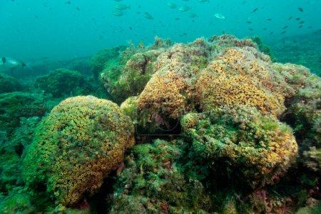 Photo for Cushion coral reef in the Adriatic Sea on Mljet island, Croatia - Royalty Free Image