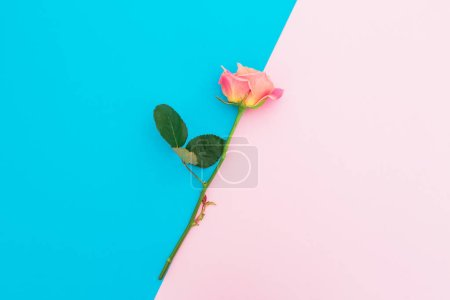 Blue and pink pastel background with roses flower....