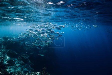 Photo pour Faune sauvage sous-marine avec des thons d'eau douce dans l'océan au récif corallien - image libre de droit