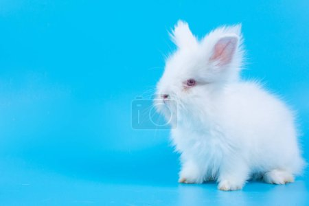 Happy Easter Day. White rabbit on blue background. Cute White baby bunny on blue background.