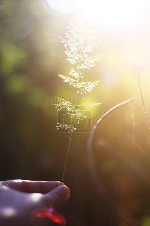 Photo pour Main tenant de belles fleurs d'herbe avec la lumière naturelle du soleil. Concept Paix et amitié de la Saint-Valentin. - image libre de droit