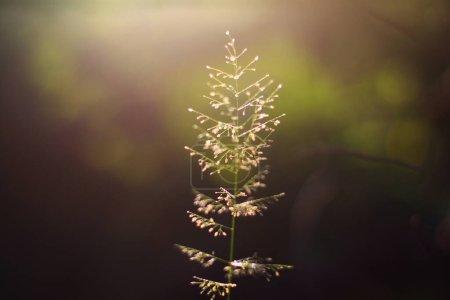 Photo pour Belles fleurs d'herbe avec la lumière naturelle du soleil dans une nouvelle vie. Concept Paix et amitié de la Saint-Valentin. - image libre de droit