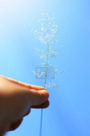 Photo pour Main tenant de belles fleurs d'herbe avec ciel bleu et lumière naturelle du soleil. Concept Paix et amitié de la Saint-Valentin. - image libre de droit