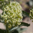 Flower Umbel in shades of white and yellow on Dese...