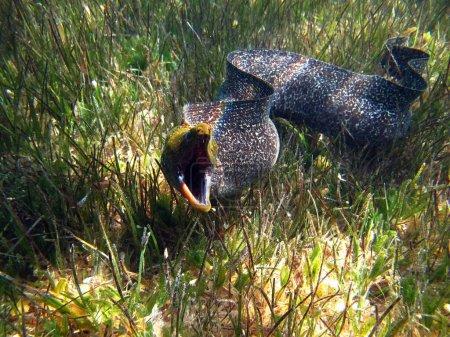 Photo pour Anguilles murènes (Muraenidae) Les murènes ondulées habitent les récifs coralliens, poussent jusqu'à 140 cm, se nourrissent de petits poissons et d'invertébrés. Profondeurs jusqu'à 40 m. - image libre de droit