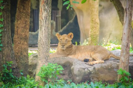The lion (Panthera leo) is one of the big cats in the genus Panthera and a member of the family Felidae. The commonly used term African lion collectively denotes the several subspecies in Africa.