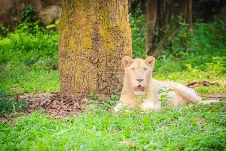 Cute white lion (Panthera leo), one of the big cats in the genus Panthera and a member of the family Felidae. The commonly used term African lion collectively denotes the several subspecies in Africa.