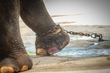 Photo for Leg chained elephant and look very pitiful. - Royalty Free Image