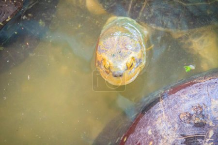 Cute Yellow-headed temple turtle in the farm. The ...