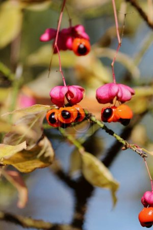 Photo for Ripe orange black fruit of Euonymus verrucosus with pink umbrella against the backdrop of foliage and blue sky in forest on sunny autumn day. Warty-barked Spindle orange black pink berries. Vertical. - Royalty Free Image