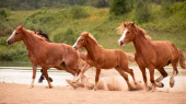 Horses Orlov trotters, russian trotters, heavy horses with foals on the water meadows, summer;running horses