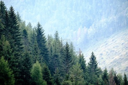 panoramic view of misty forest in western carpathian mountains.